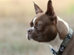 *** Boston terrier ***