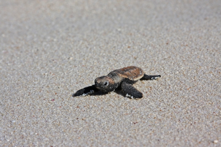 Baby Sea Turtle - turtle, marine, pacific, juvenile, amphibian, polynesia, sand, lagoon, south, paradise, islands, leather, animal, sea, tahiti, back, island, exotic, beach, tropical, bora bora, ocean, baby