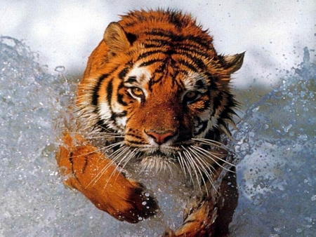 Tiger Running through Water - tiger, splash, orange, hunt, cats, fierce, splashing, stripes, water, big cats, wildlife, ferocious, nature, running