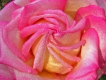 Stunning pink rose with water drops