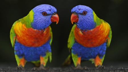 colored parakeet  Birds  Animals Background Wallpapers on