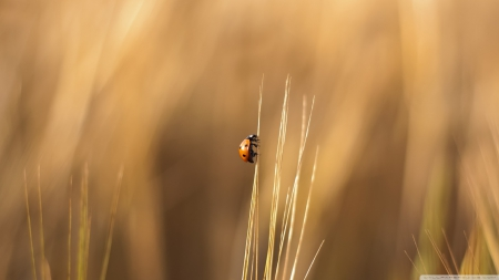 Real ladybug - wallpaper, field, ladybug, bugs, animals, wild, nature, macro, grass, wildlife, HD