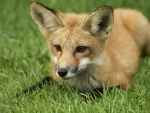 *** Red fox on field ***