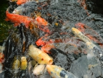 orange fishes