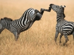 the zebra version of an uppercut