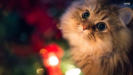 Christmas cat - Cats & Animals Background Wallpapers on ...