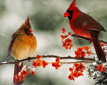 Cardinals birds animals background wallpapers on - Winter cardinal background ...
