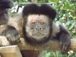 Brown Capuchin looking At the Camera