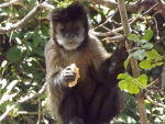 Brown Capuchin Eating A Piece of Bread