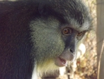 Mona Monkey Side On Startled Expression