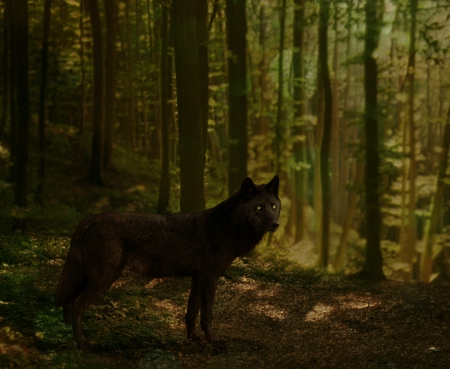 Black Wolf - Other & Animals Background Wallpapers on ...