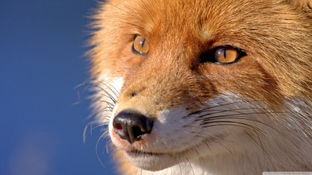 Face of the fox - Other & Animals Background Wallpapers on ...
