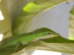Cute Green Anole