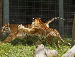 Tigers At Play