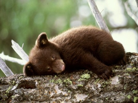 Bear cub - cubs, bears, cub, bear cub
