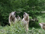 Four wolves howling