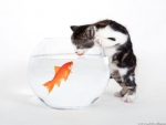Cat trying to catch Goldfish