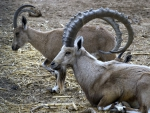 Big Horn Sheep Family