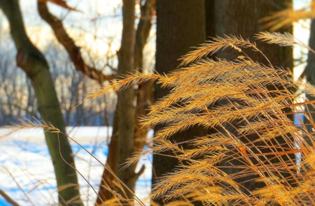 Glowing Grasses in Winter - winter, tree, grass, nature