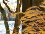 Glowing Grasses in Winter