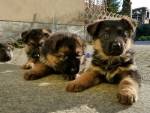 Cute Puppies for Triangiel
