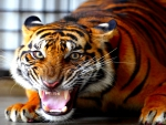SNARLING SUMATRAN TIGER