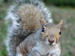 Nosy gray squirrel