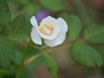 White rose bud