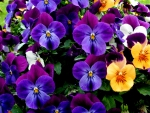 Beautiful Pansies!