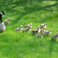 Gooses family