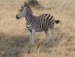 Souyj Afrocan Zebra (Shaddow stripes)