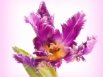 Parrot tulip for Kathy