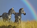 Zebras and rainbow