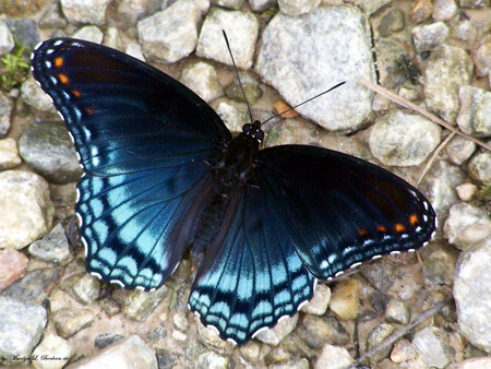 Red Spotted Purple Butterfly - spotted butterfly, butterfly, purple spotted butterfly, red spotted purple butterfly, red spotted butterfly