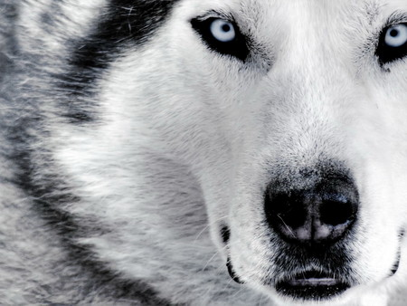 Siberian Husky Face - Close Up - cool, husky, animals, siberian husky, blue, animal, mystic, eyes, wild, snow, ghost, white, sir, black, rystal night, mammals, loup, loki, fox, wolves, wallpaper, blueeyes, wolf