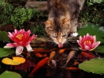 cat drinking from goldfish pond