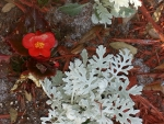 Begonia and Dusty Miller