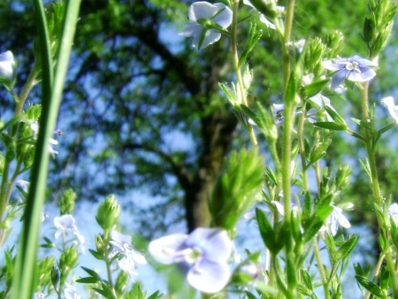 Blue flowers , sunny day.  - greenroof, flowers, green, tree, sky, Blue