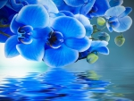 Blue orchids reflection
