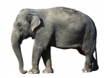 Great big elephant