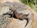 Chuckwalla lizard