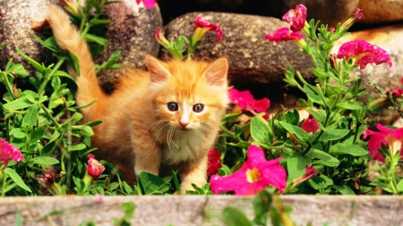 Ginger kitten in flowers - flowers, animals, kitten, cat, nature