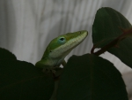 Cute Anole Lizard