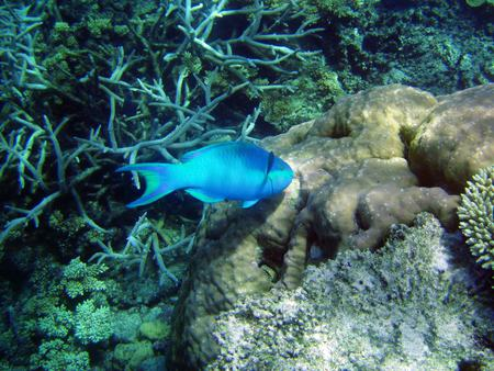 Great Barrier Reef Fish - australia, blue fish, ocean floor, coral reef