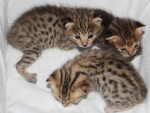 Serval Savannah Kittens