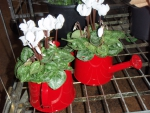 Pretty red watering cans with cyclamen
