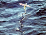 Pink wing flying fish