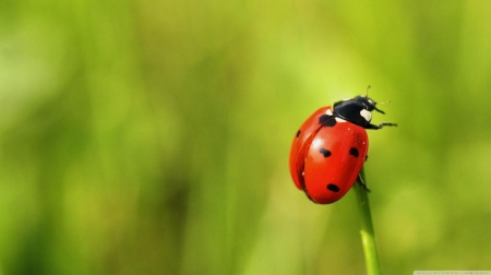 The brave ladybug - wallpaper, field, ladybug, photography, bugs, animals, abstract, cute, nature, macro, grass, green, spring, HD