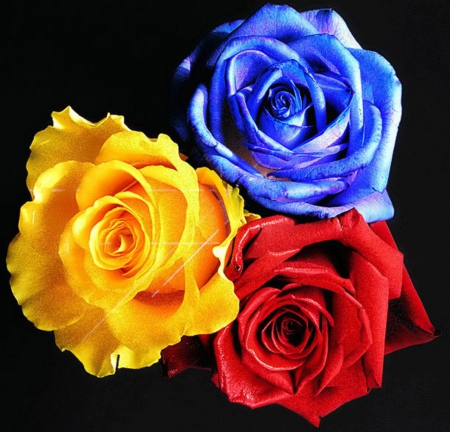 Three color roses flowers nature background wallpapers - Plants with blue flowers a splash of colors in the garden ...