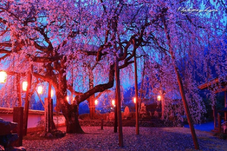 Cherry blossoms garden other nature background for Cherry blossom garden japan